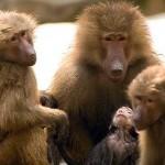 baboons-150x150